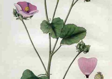 BLUNT-LEAVED CHILIAN MALLOW