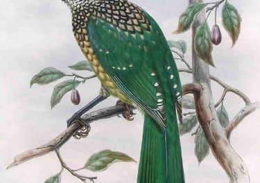 GOULD'S BIRDS AILUROEDUS MELANOCEPHALUS