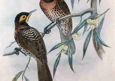 GOULD'S BIRDS .. MELIDECTES EMILII