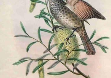 GOULD'S BIRDS .. PTILOTIS MARMORATA
