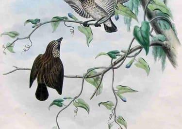 GOULD'S BIRDS .. DICAEUM TRISTRAMI