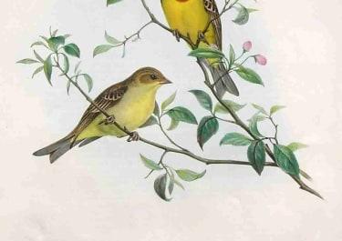 GOULD'S BIRDS .. EUSPIZA LUTEOLA