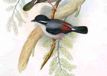 GOULD'S BIRDS .. PTERUTHIUS ERYTHROPTERUS