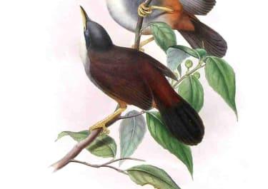 GOULD'S BIRDS .. GARRALUX DELESSERTI
