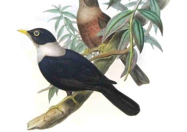 GOULD'S BIRDS .. MERULA ALBOCINCTA