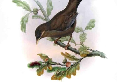 GOULD'S BIRDS .. PTERORHINUS DAVIDI