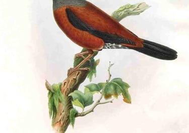 GOULD'S BIRDS .. TURDUS GOULDI