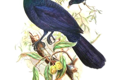 GOULD'S BIRDS ..MANUCODIA CHALYBEATA