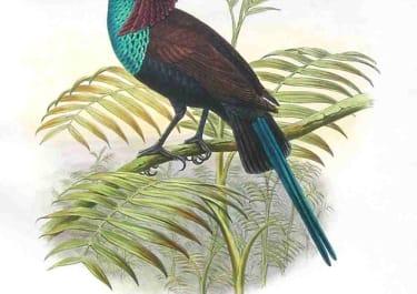 GOULD'S BIRDS .. LAMPROTHORAX WILHELMINAE