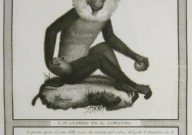 MONKEYS L'OUANDERO ED IL LOWANDO