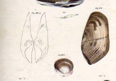 SHELLS NATURAL HISTORY OF NEW YORK PLATE 32
