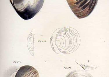 SHELLS NATURAL HISTORY OF NEW YORK PLATE 27