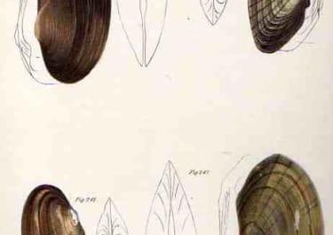 SHELLS NATURAL HISTORY OF NEW YORK PLATE 20