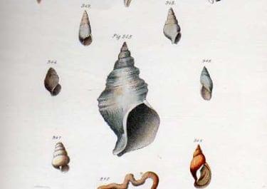 SHELLS NATURAL HISTORY OF NEW YORK PLATE 36