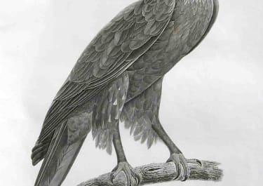 EAGLE. EYGPTIAN EAGLE PLATE 1