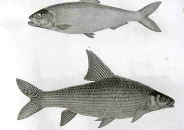 FISH POISSONS PL 10