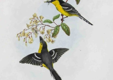 GOULD'S BIRDS FLYCATCHERS MACHAERIRHYNCHUS NIGRIPECTUS