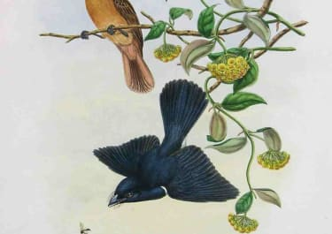 GOULD'S BIRDS FLYCATCHERS MYIAGRA CERVINICAUDA
