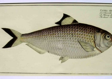 THE CHINESE HERRING . CLUPEA SINENSIS