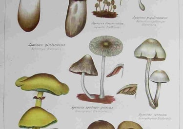FUNGI MUSHROOMS PLATE 12