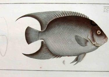THE HAIRY ANGEL FISH CHAETODON CILLARIS
