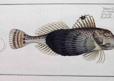 THE SMALLER FLYING FISH TRIGLA CAROLINA