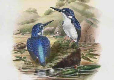 GOULD'S BIRDS KINGFISHER CEYX GENTIANA