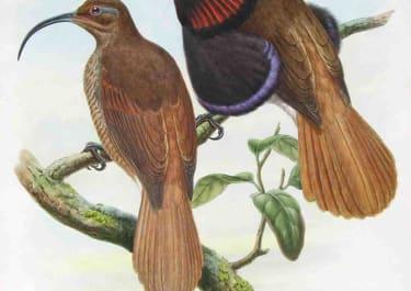 GOULD'S BIRDS BENNET'S BIRD OF PARADISE DREPANORNIS CERVINICAUDA