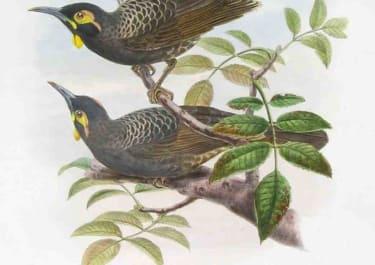GOULD'S BIRDS BATE'S HONEY EATER MELIRRHOPHETES BATESI