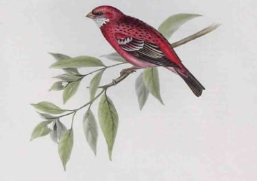 GOULD'S BIRDS ROSY GROSBEAK ERYTHROSPIZA ROSEA
