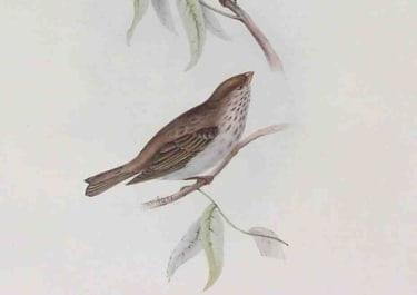GOULD'S BIRDS SCARLET GROSBEAK ERYTHROSPIZA ERYTHRINA
