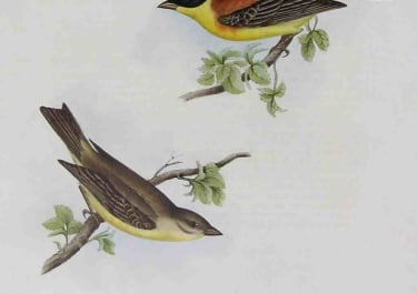 GOULD'S BIRDS BLACK HEADED BUNTING EMBERIZA MELANOCEPHALA