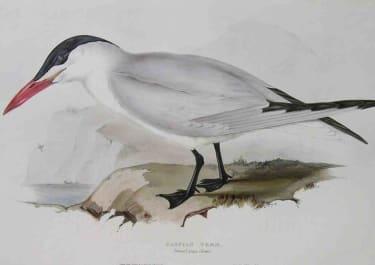 GOULD'S BIRDS CASPIAN TERN STERNA CASPIA