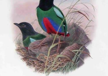 GOULD'S BIRDS ROSENBERG'S PITTA PITTA ROSENBERGH