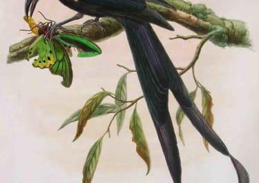BIRD OF PARADISE . DICRANOSTREPTUS MEGARHYNCHUS