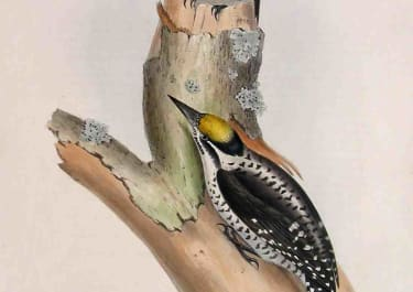 THREE TOED WOODPECKER PICUS TRIDACTYLUS