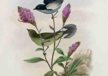 VERSTER'S FLOWER-PECKERPRISTORHAMPHUS VERSTERI