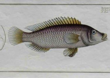 BLOCH FISH LUTIANUS LINCKII LE LINCK
