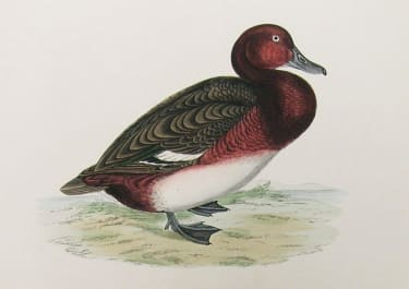 FERRUGINOUS DUCK