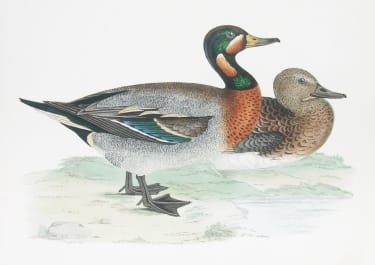 GARGANEY TEAL DUCKS