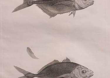 DESCRIPTION EXPEDITION EGYPT  ZOOLOGY  FISH