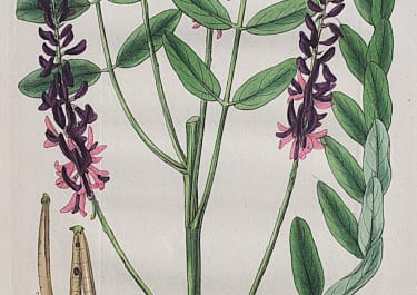 CURTIS   BLOOD-FLOWERED INDIGOFERA