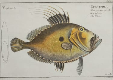 BLOCH FISH   ZEVS FABER   JOHN DORY  DORADE