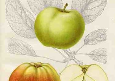 (APPLES) BISMARCKSAPPLE