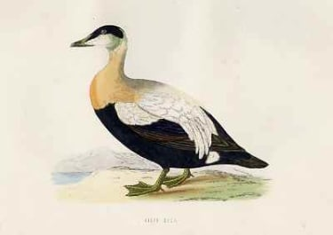 (DUCKS)EIDER DUCK