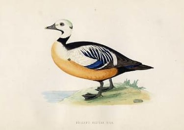 (DUCKS)STELLER'S WESTERN DUCK
