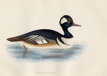 (DUCKS)HOODED MERCANSER
