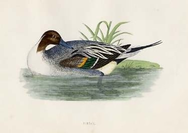(DUCKS)PINTAIL