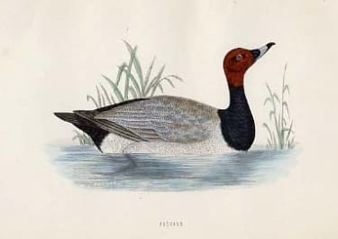 (DUCKS)POCHARD