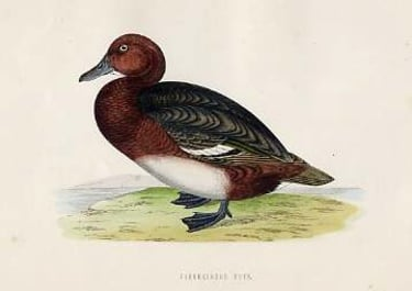 (DUCKS)FERRUCINOUS DUCK